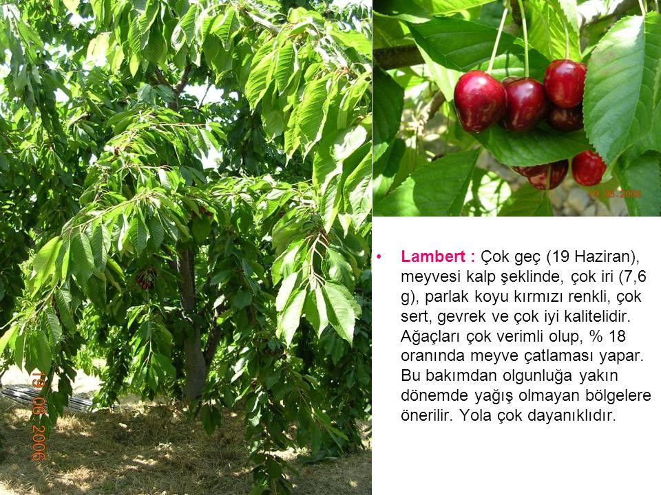 Lambert : Çok geç (19 Haziran), meyvesi kalp şeklinde, çok iri (7,6 g), parlak koyu kırmızı renkli, çok sert, gevrek ve çok iyi kalitelidir.