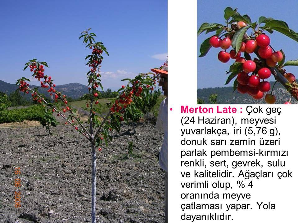Merton Late : Çok geç (24 Haziran), meyvesi yuvarlakça, iri (5,76 g), donuk sarı zemin üzeri parlak pembemsi-kırmızı renkli, sert, gevrek, sulu ve kalitelidir.