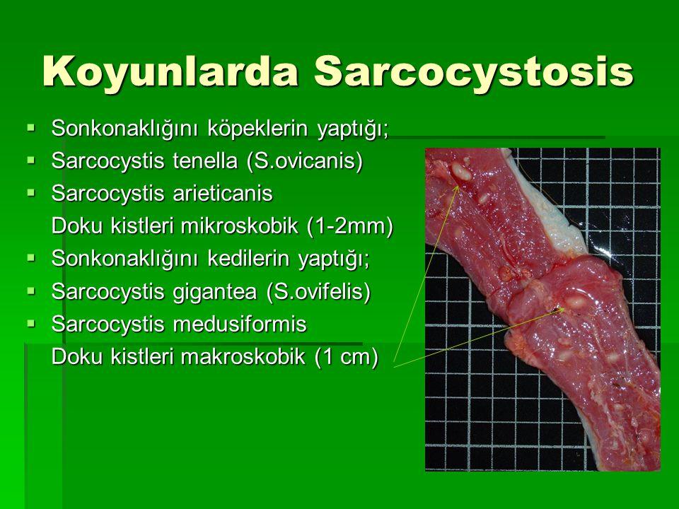 Koyunlarda Sarcocystosis