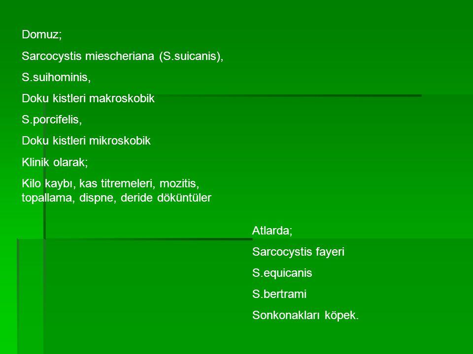 Domuz; Sarcocystis miescheriana (S.suicanis), S.suihominis, Doku kistleri makroskobik. S.porcifelis,