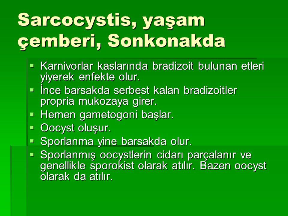 Sarcocystis, yaşam çemberi, Sonkonakda