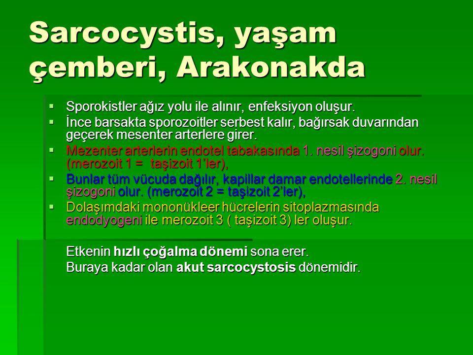 Sarcocystis, yaşam çemberi, Arakonakda