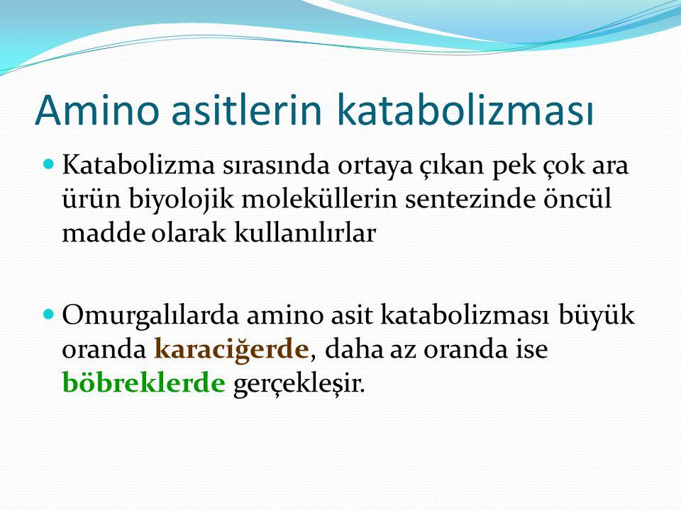 Amino asitlerin katabolizması