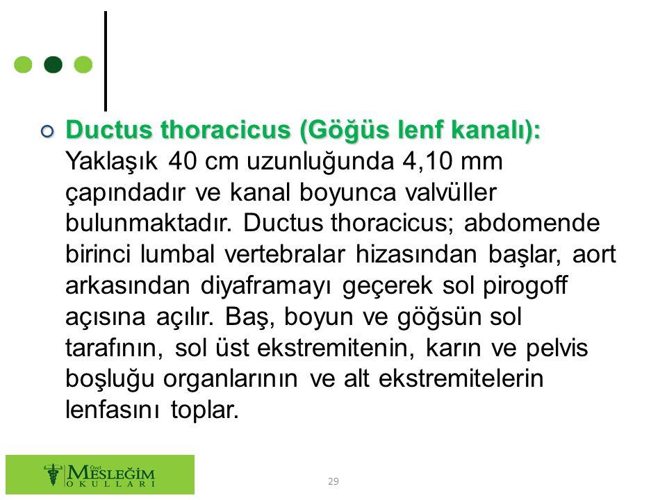 Ductus thoracicus (Göğüs lenf kanalı): Yaklaşık 40 cm uzunluğunda 4,10 mm çapındadır ve kanal boyunca valvüller bulunmaktadır.