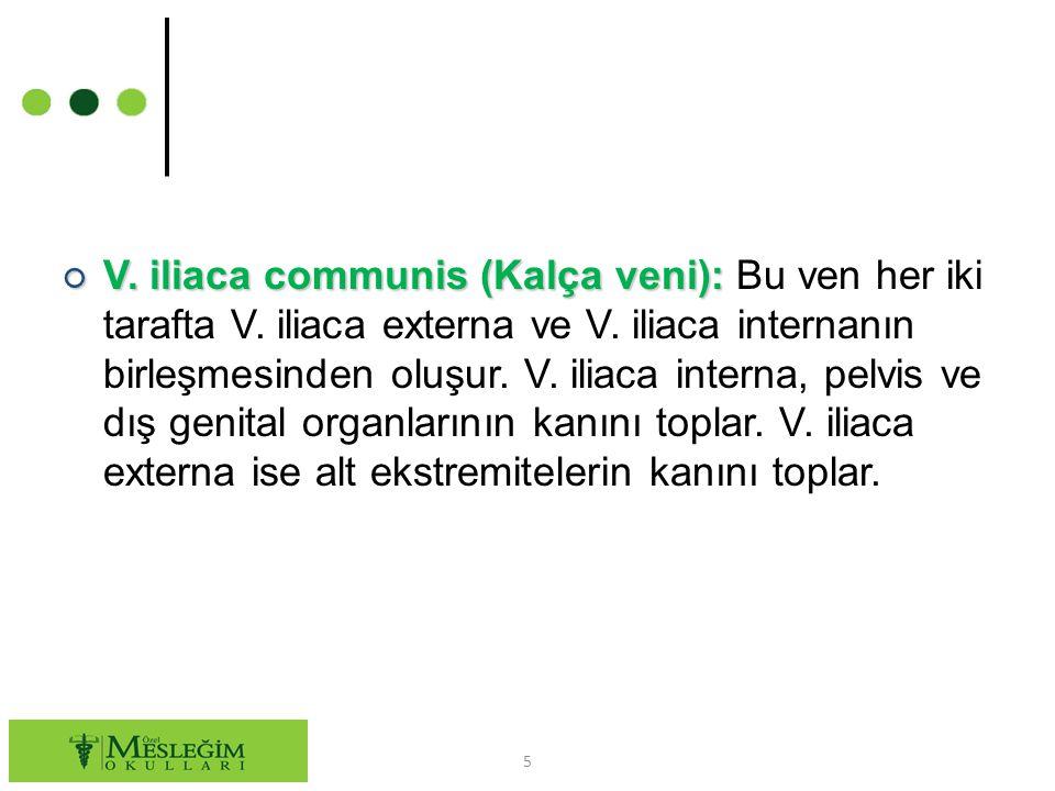 V. iliaca communis (Kalça veni): Bu ven her iki tarafta V