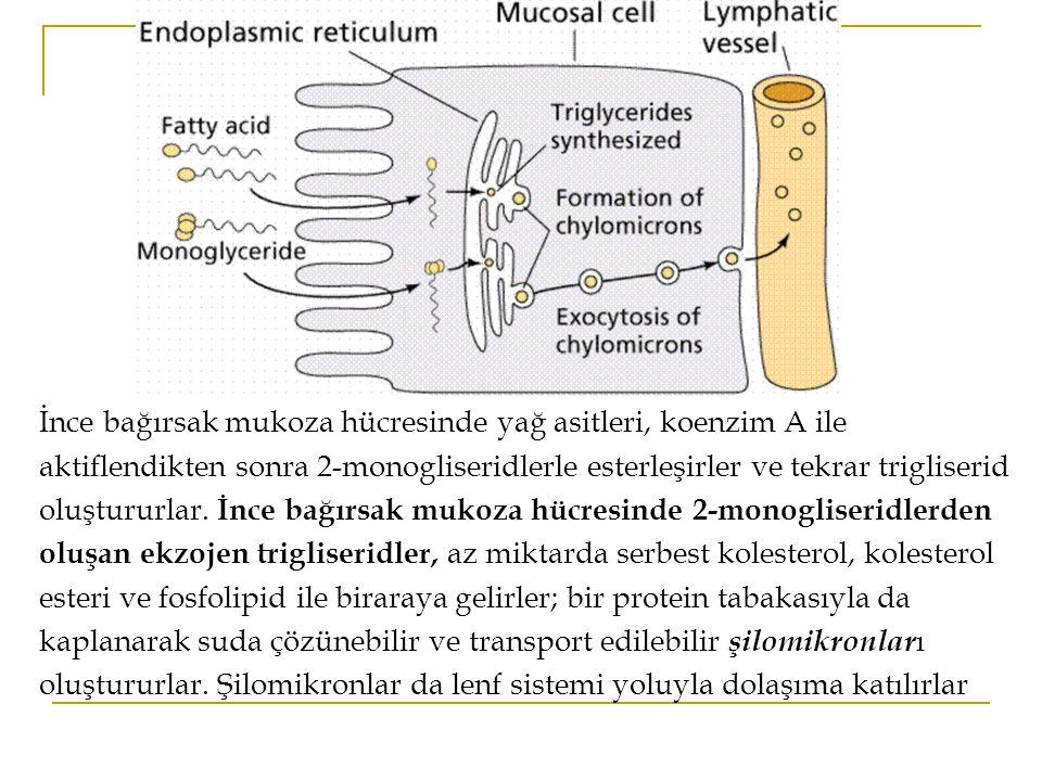 İnce bağırsak mukoza hücresinde yağ asitleri, koenzim A ile aktiflendikten sonra 2-monogliseridlerle esterleşirler ve tekrar trigliserid oluştururlar.