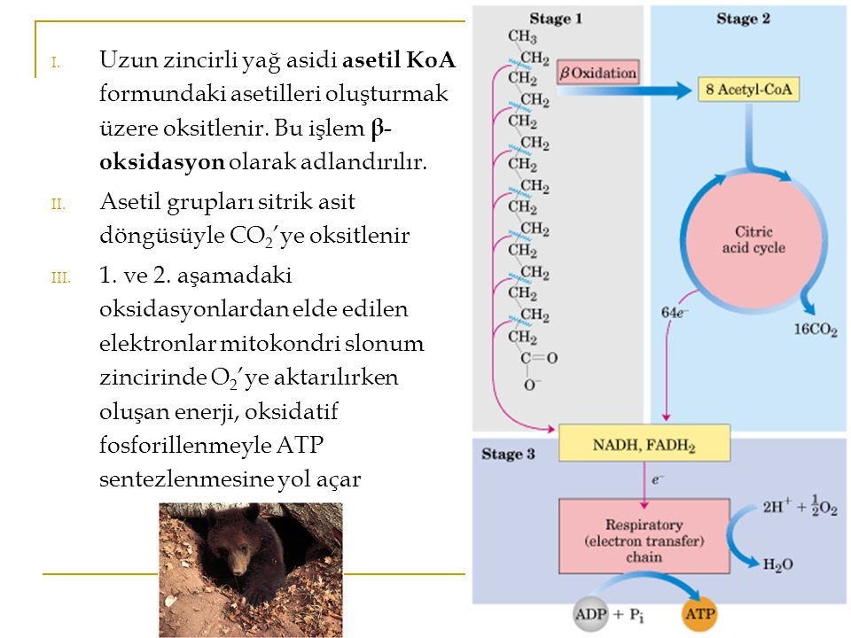 Uzun zincirli yağ asidi asetil KoA formundaki asetilleri oluşturmak üzere oksitlenir. Bu işlem β-oksidasyon olarak adlandırılır.