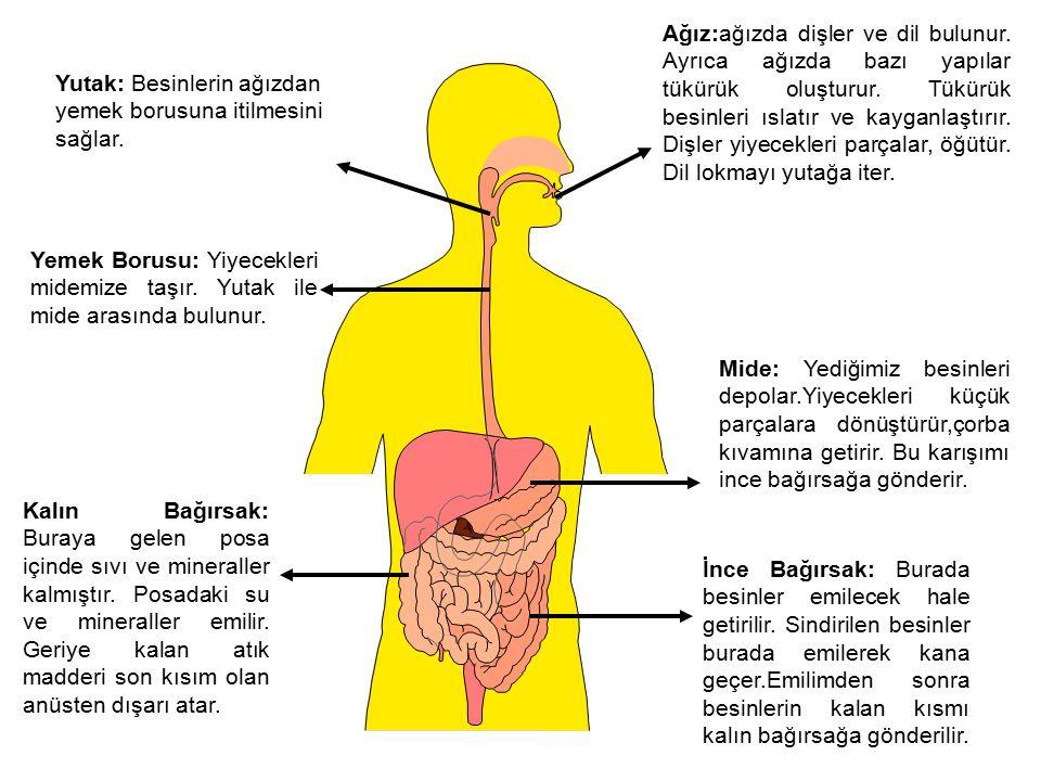 Ağız:ağızda dişler ve dil bulunur