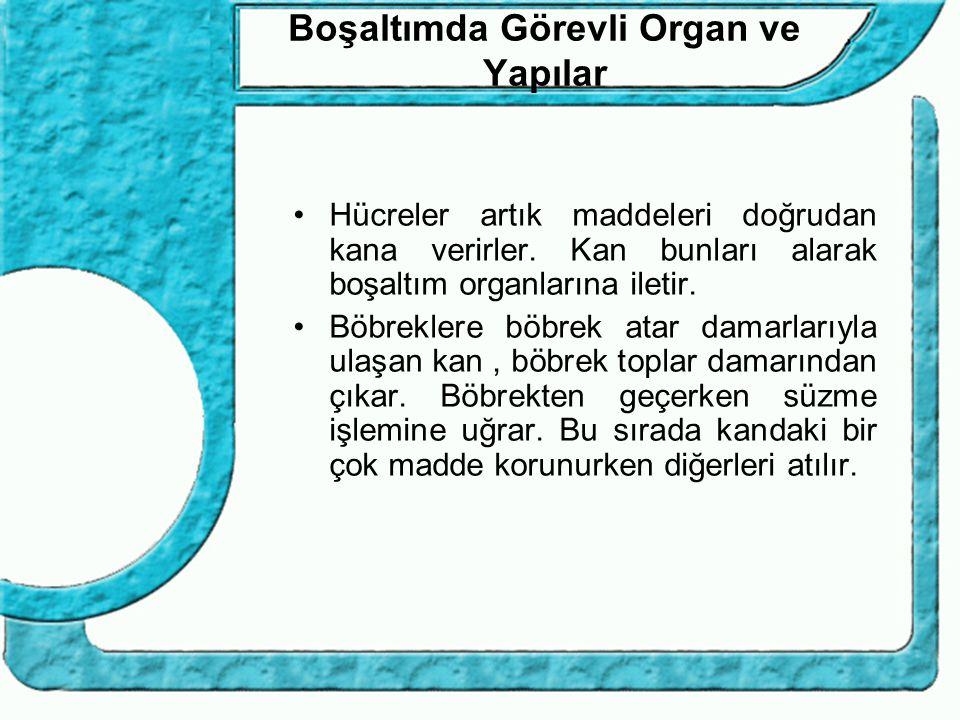 Boşaltımda Görevli Organ ve Yapılar