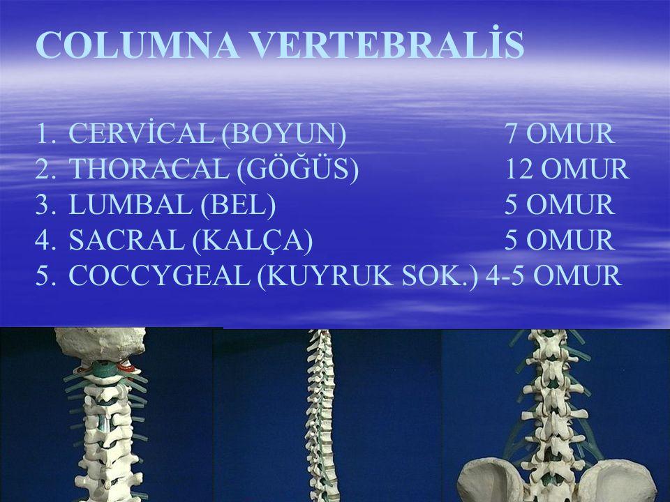 COLUMNA VERTEBRALİS CERVİCAL (BOYUN) 7 OMUR THORACAL (GÖĞÜS) 12 OMUR