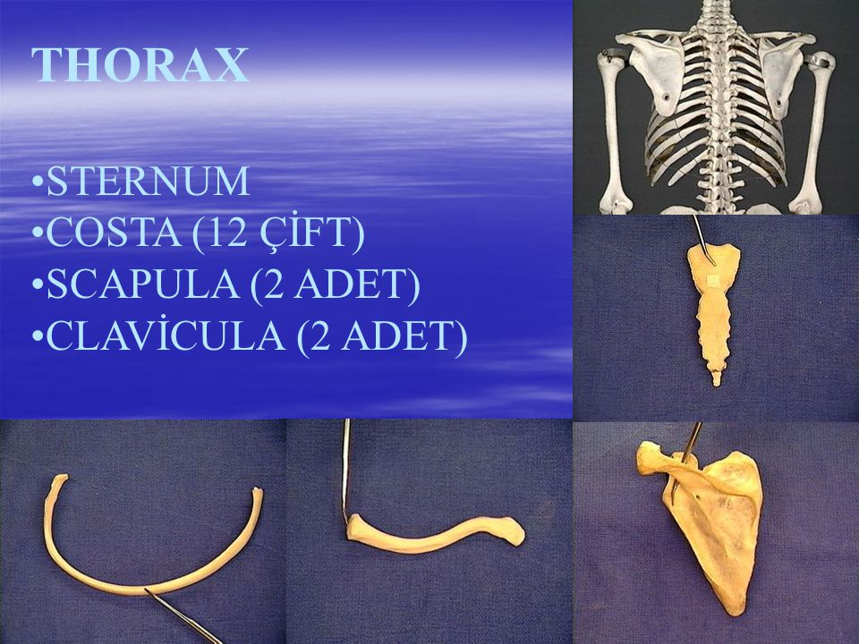 THORAX STERNUM COSTA (12 ÇİFT) SCAPULA (2 ADET) CLAVİCULA (2 ADET)