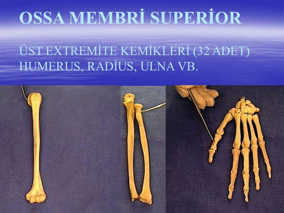 OSSA MEMBRİ SUPERİOR ÜST EXTREMİTE KEMİKLERİ (32 ADET)
