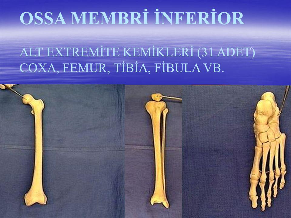 OSSA MEMBRİ İNFERİOR ALT EXTREMİTE KEMİKLERİ (31 ADET)