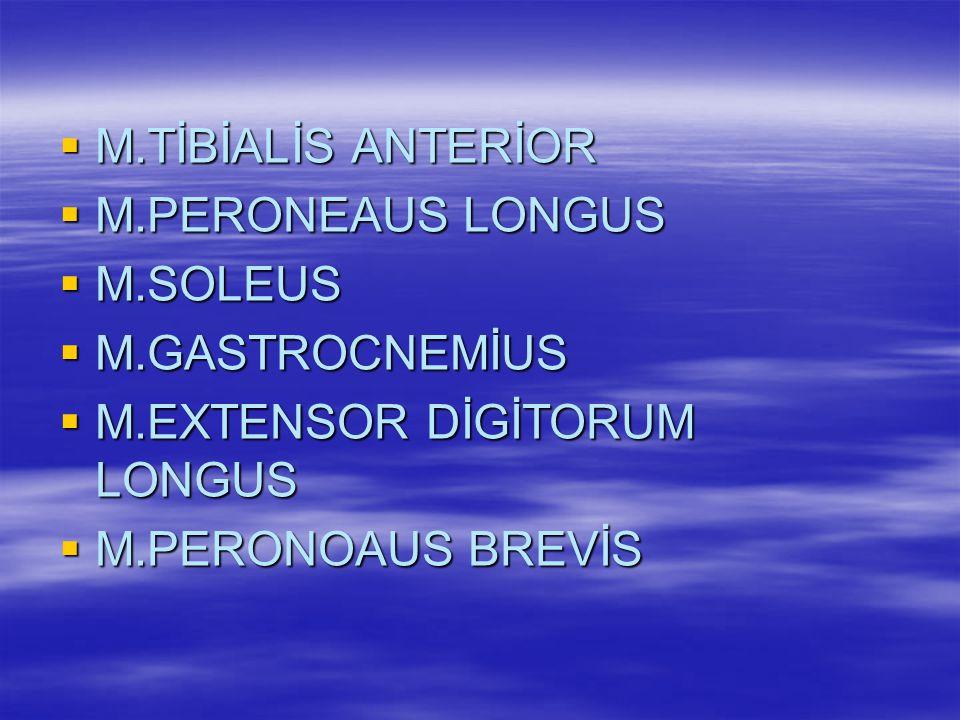 M.TİBİALİS ANTERİOR M.PERONEAUS LONGUS. M.SOLEUS.