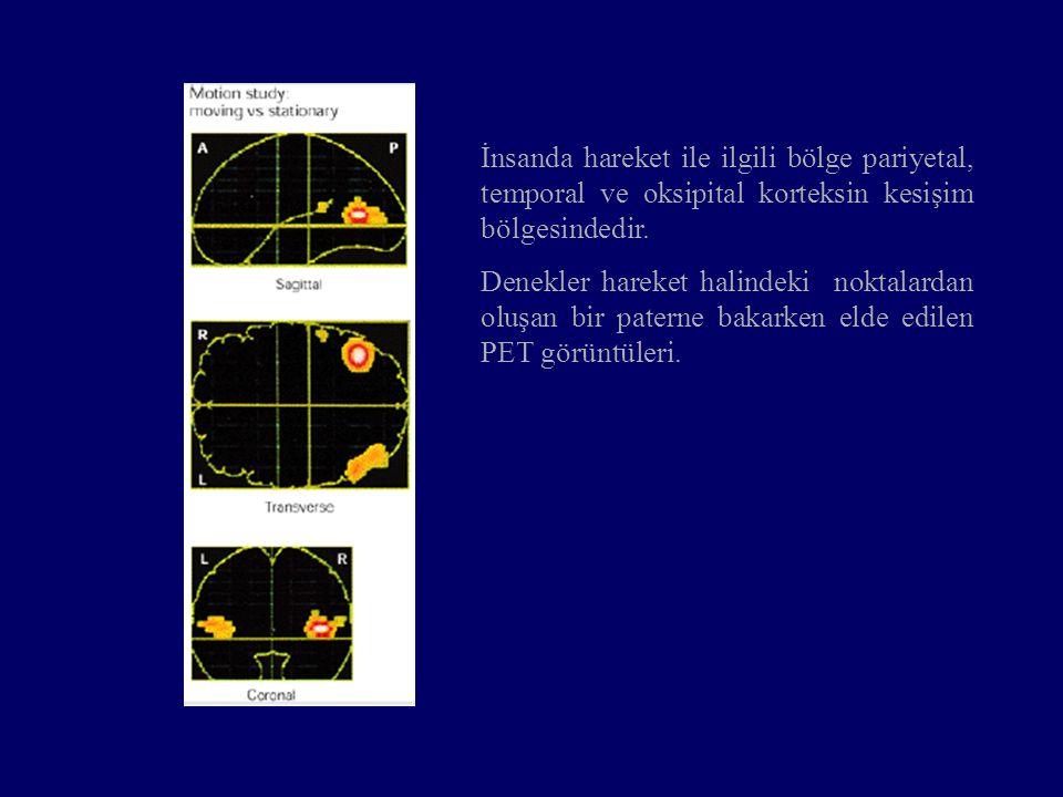 İnsanda hareket ile ilgili bölge pariyetal, temporal ve oksipital korteksin kesişim bölgesindedir.