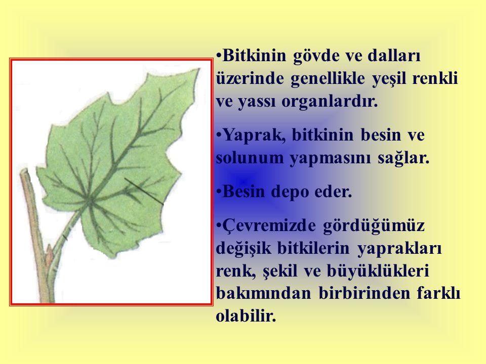 Bitkinin gövde ve dalları üzerinde genellikle yeşil renkli ve yassı organlardır.