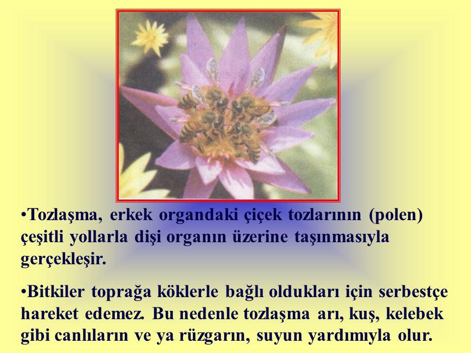 Tozlaşma, erkek organdaki çiçek tozlarının (polen) çeşitli yollarla dişi organın üzerine taşınmasıyla gerçekleşir.