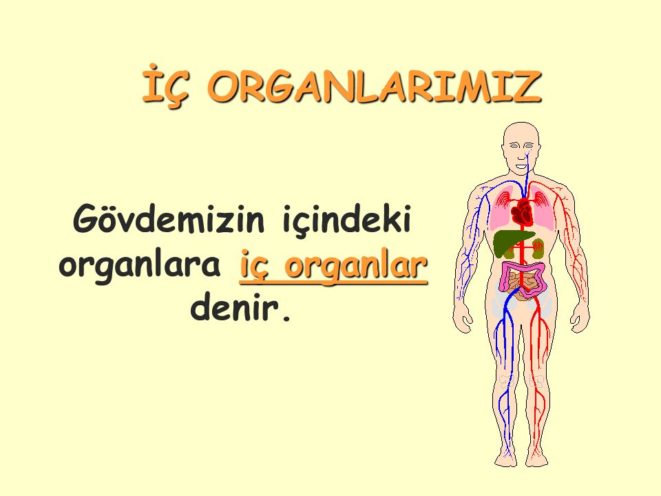Gövdemizin içindeki organlara iç organlar denir.
