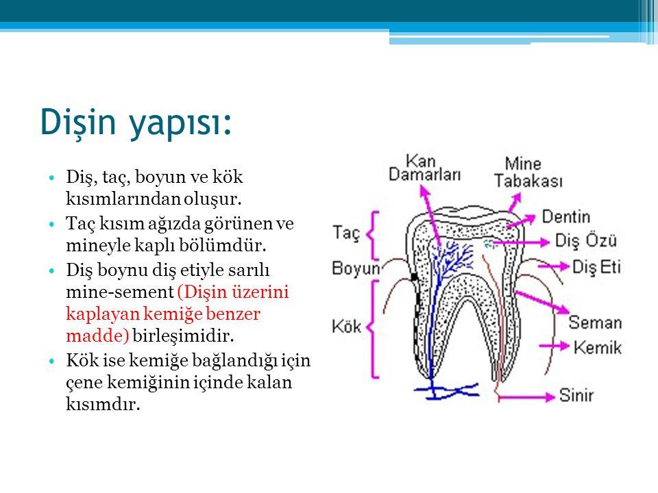 Dişin yapısı: Diş, taç, boyun ve kök kısımlarından oluşur.