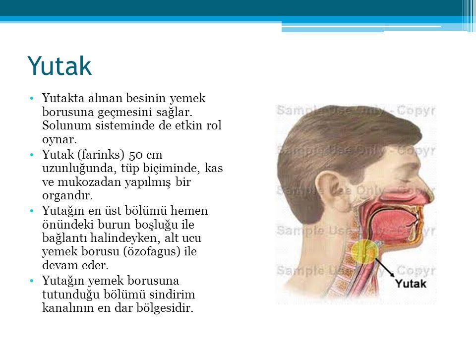 Yutak Yutakta alınan besinin yemek borusuna geçmesini sağlar. Solunum sisteminde de etkin rol oynar.
