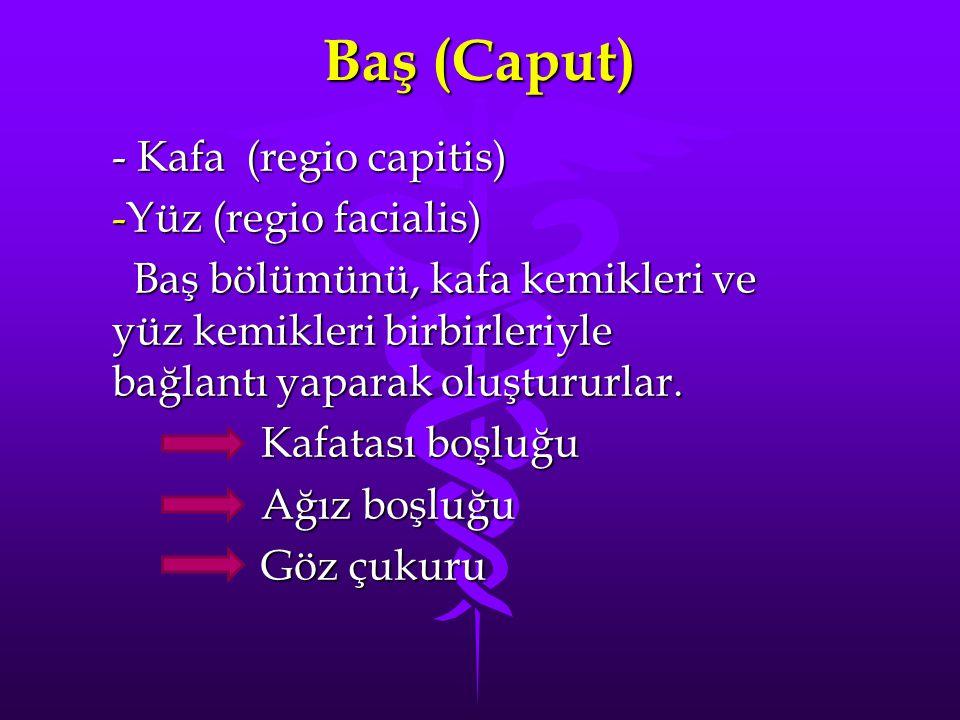 Baş (Caput) - Kafa (regio capitis) Yüz (regio facialis)