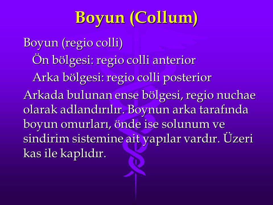 Boyun (Collum) Boyun (regio colli) Ön bölgesi: regio colli anterior