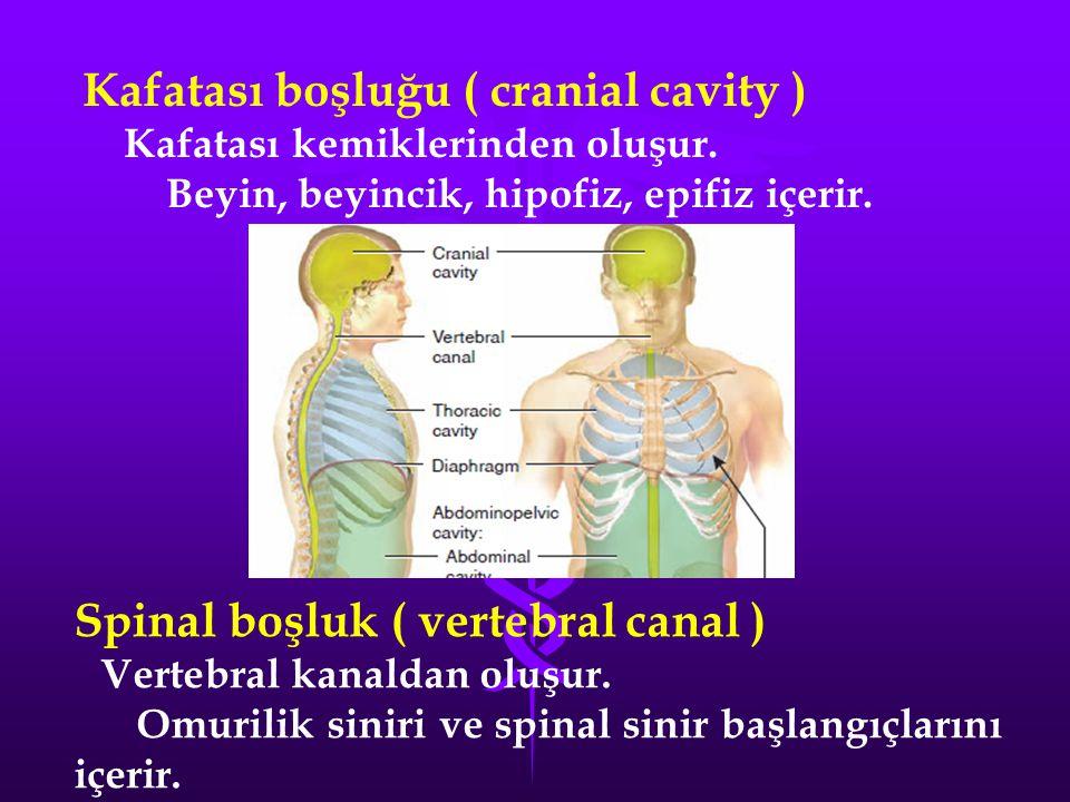 Kafatası boşluğu ( cranial cavity )