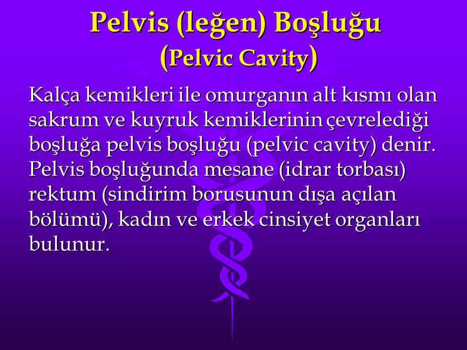 Pelvis (leğen) Boşluğu (Pelvic Cavity)