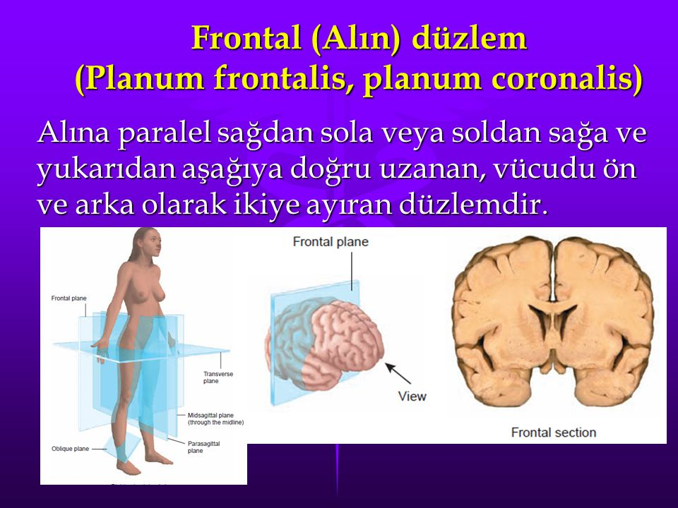Frontal (Alın) düzlem (Planum frontalis, planum coronalis)