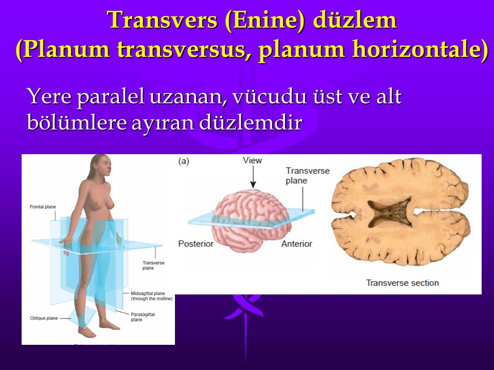 Transvers (Enine) düzlem (Planum transversus, planum horizontale)
