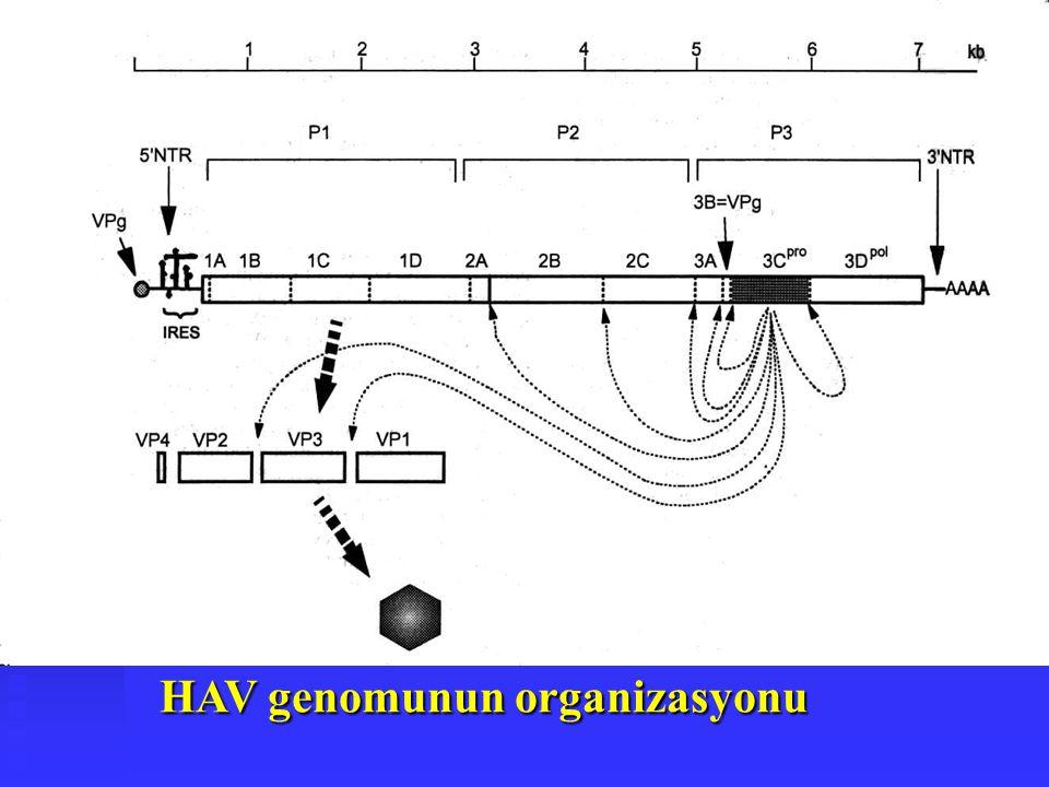 HAV genomunun organizasyonu