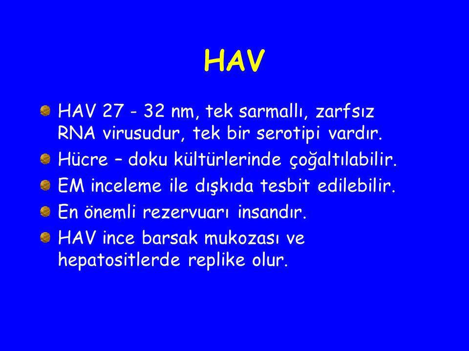 HAV HAV 27 - 32 nm, tek sarmallı, zarfsız RNA virusudur, tek bir serotipi vardır. Hücre – doku kültürlerinde çoğaltılabilir.