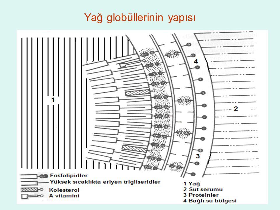 Yağ globüllerinin yapısı
