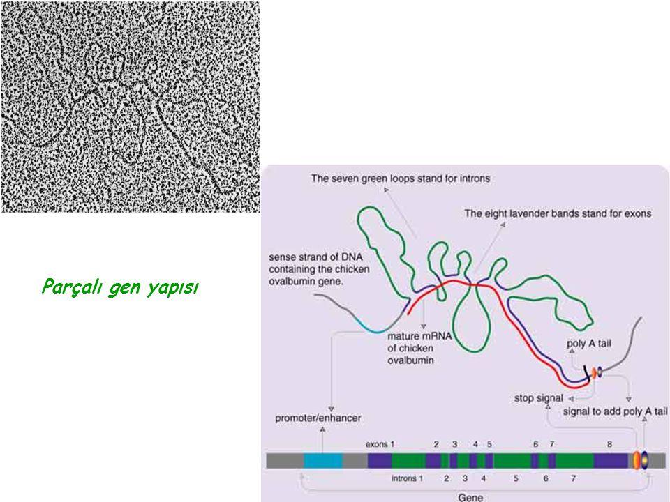 Parçalı gen yapısı