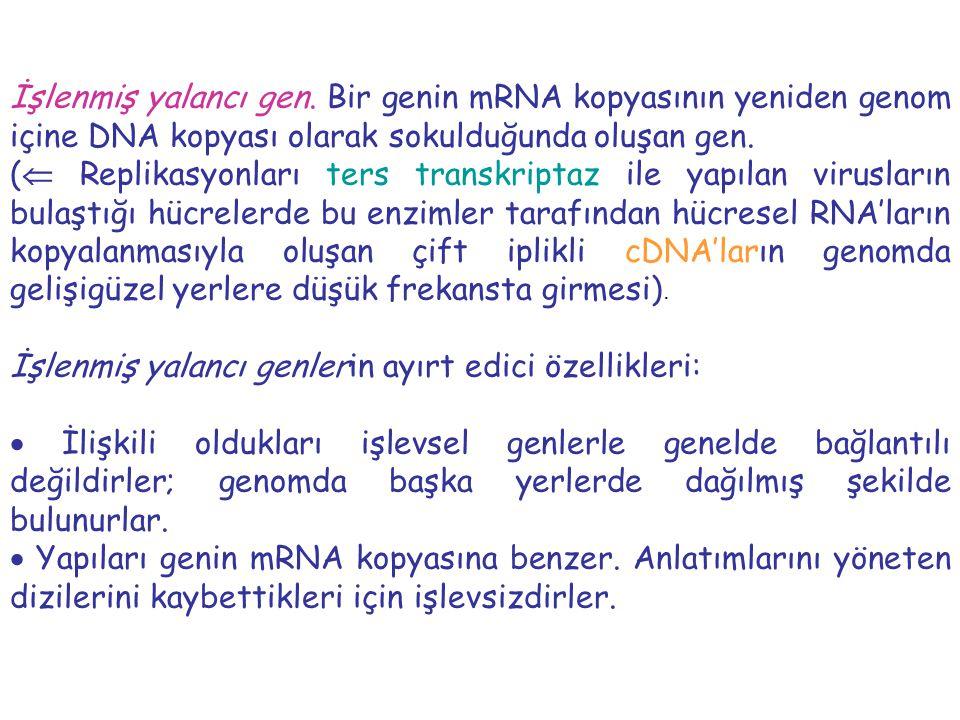 İşlenmiş yalancı gen. Bir genin mRNA kopyasının yeniden genom içine DNA kopyası olarak sokulduğunda oluşan gen.