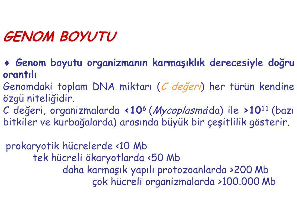 GENOM BOYUTU  Genom boyutu organizmanın karmaşıklık derecesiyle doğru orantılı.