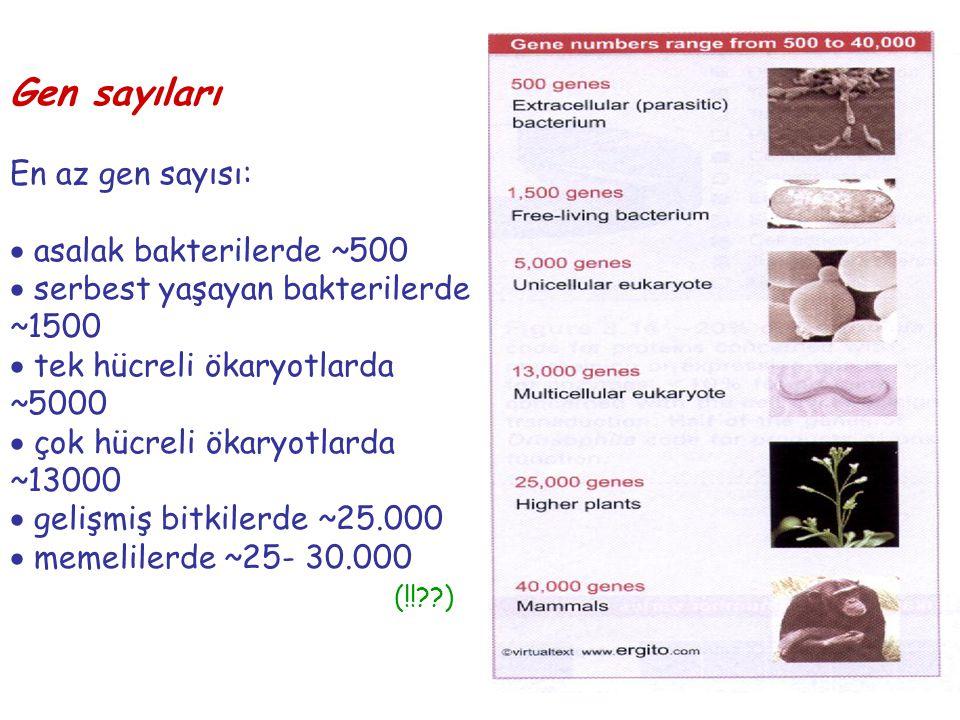 Gen sayıları En az gen sayısı:  asalak bakterilerde ~500