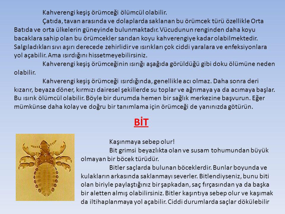 Kahverengi keşiş örümceği ölümcül olabilir
