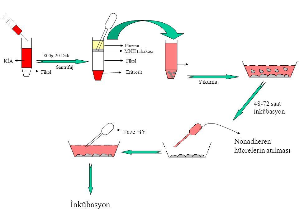 İnkübasyon Nonadheren hücrelerin atılması 48-72 saat inkübasyon