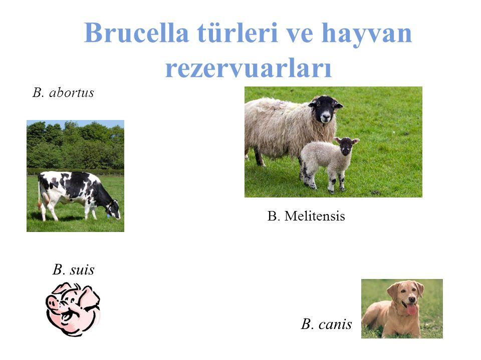 Brucella türleri ve hayvan rezervuarları