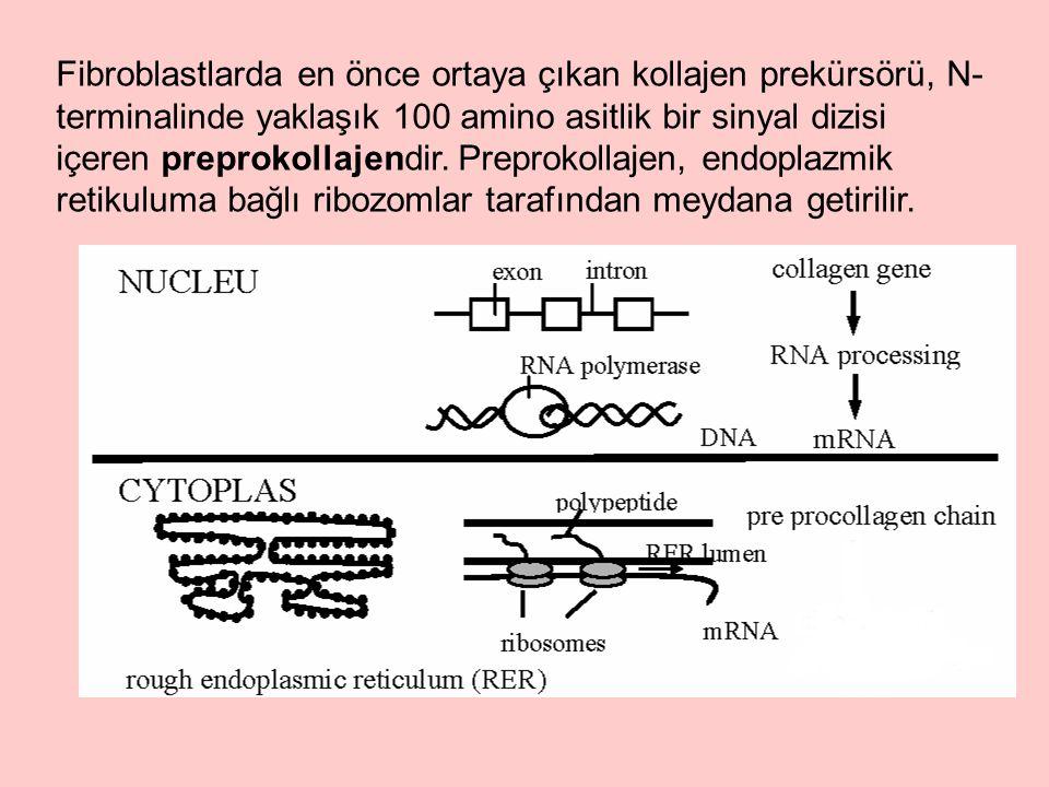 Fibroblastlarda en önce ortaya çıkan kollajen prekürsörü, N-terminalinde yaklaşık 100 amino asitlik bir sinyal dizisi içeren preprokollajendir.