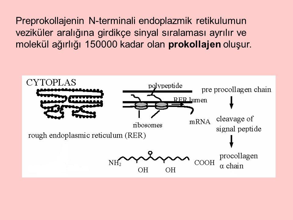 Preprokollajenin N-terminali endoplazmik retikulumun veziküler aralığına girdikçe sinyal sıralaması ayrılır ve molekül ağırlığı 150000 kadar olan prokollajen oluşur.