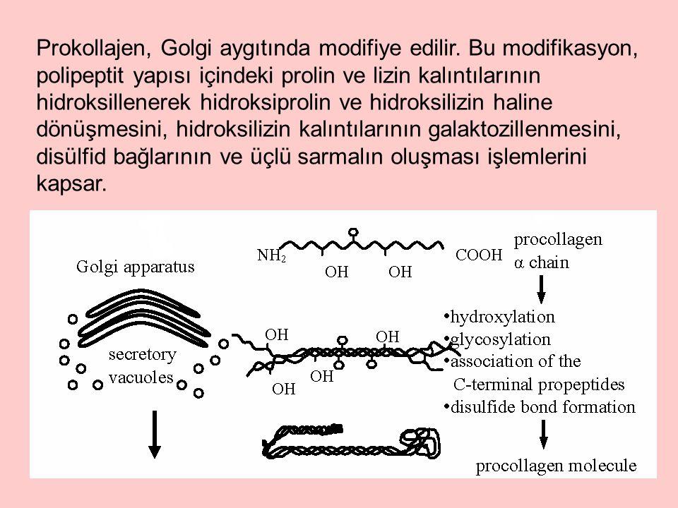 Prokollajen, Golgi aygıtında modifiye edilir