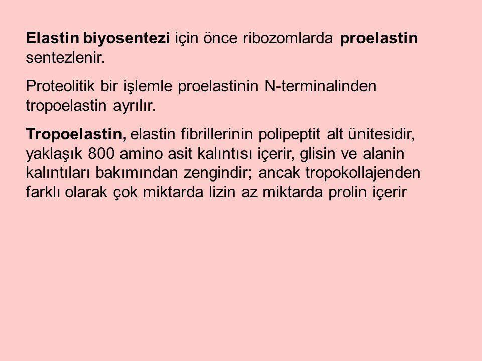 Elastin biyosentezi için önce ribozomlarda proelastin sentezlenir.