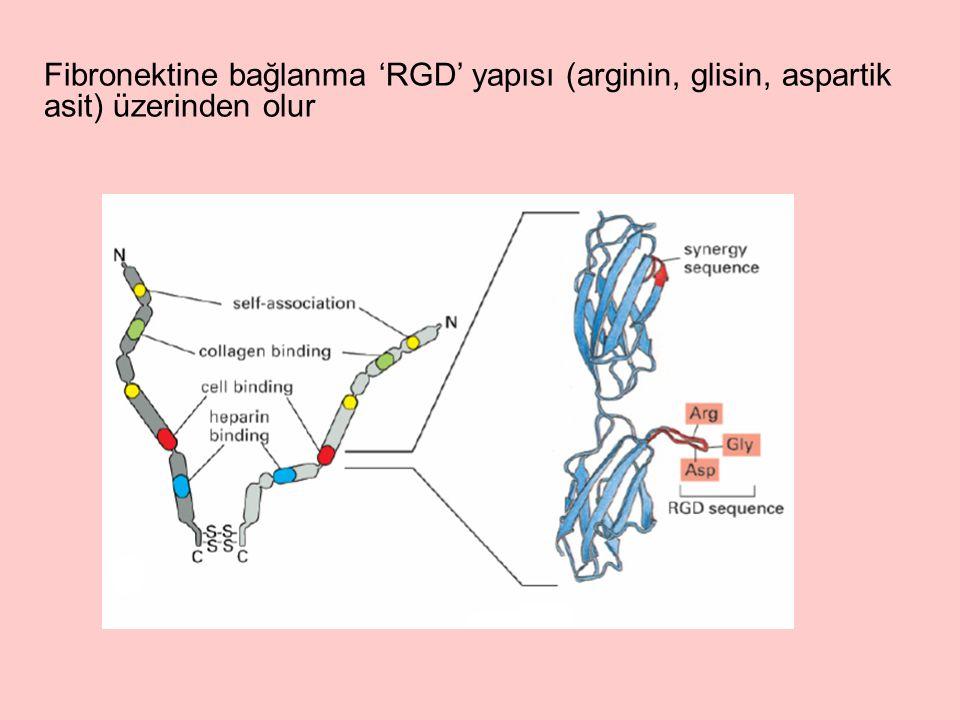 Fibronektine bağlanma 'RGD' yapısı (arginin, glisin, aspartik asit) üzerinden olur