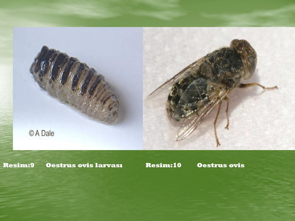 Resim:9 Oestrus ovis larvası Resim:10 Oestrus ovis