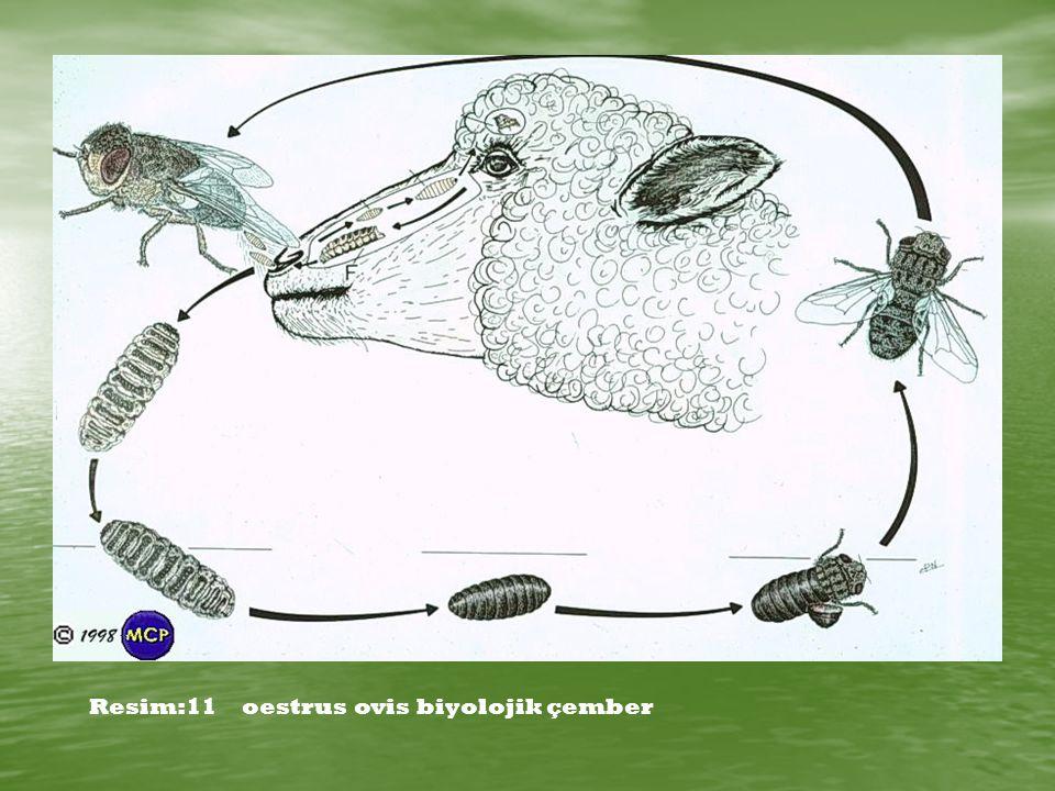 Resim:11 oestrus ovis biyolojik çember