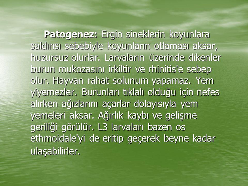 Patogenez: Ergin sineklerin koyunlara saldırısı sebebiyle koyunların otlaması aksar, huzursuz olurlar.