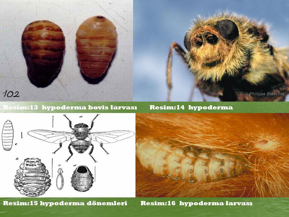 Resim:13 hypoderma bovis larvası