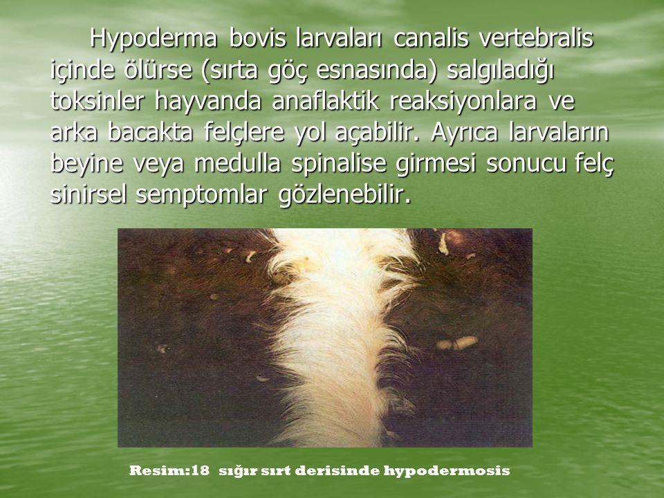 Hypoderma bovis larvaları canalis vertebralis içinde ölürse (sırta göç esnasında) salgıladığı toksinler hayvanda anaflaktik reaksiyonlara ve arka bacakta felçlere yol açabilir. Ayrıca larvaların beyine veya medulla spinalise girmesi sonucu felç sinirsel semptomlar gözlenebilir.